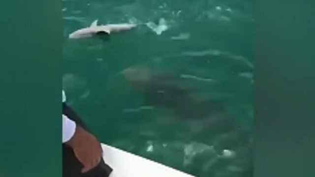 mero Goliat se traga un tiburón