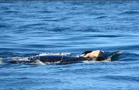 orca Tahlequah lleva a su cría muerta