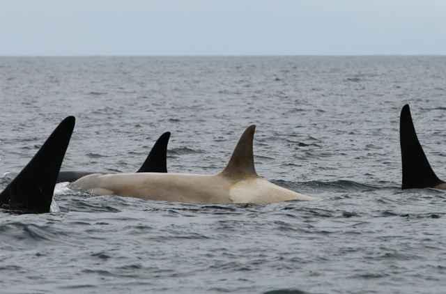 orca blanca