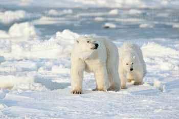 osos polares en la Bahía de Hudson