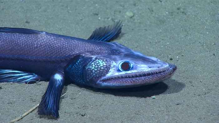 pez lagarto de aguas profundas (batisosaurio)