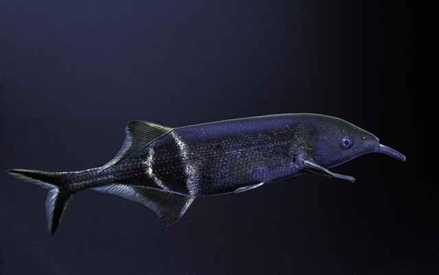 pez nariz de elefante (Gnathonemus petersii)