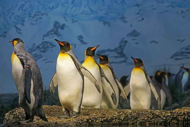Pingüinos rey (Aptenodytes patagonicus)