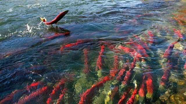 salto de un salmón para quitarse piojos marinos
