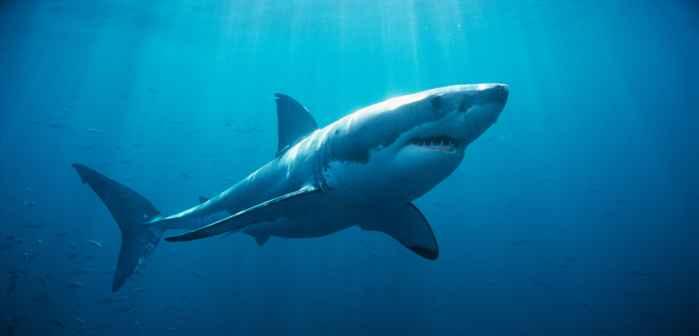 tiburón blanco Lydia