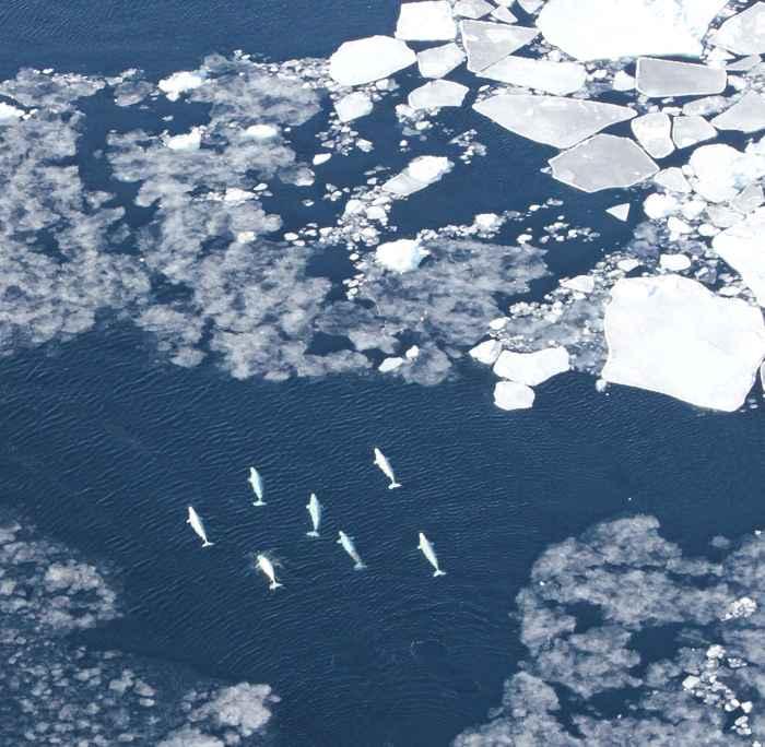 ballenas beluga en el oeste de Groenlandia