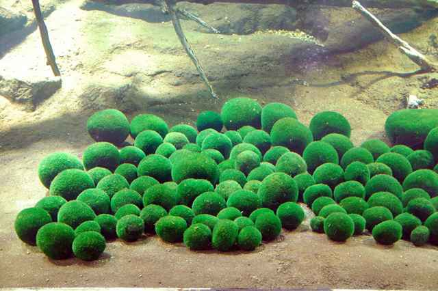 bolas de algas marimo