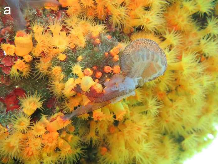 colonia de corales atrapa a una medusa