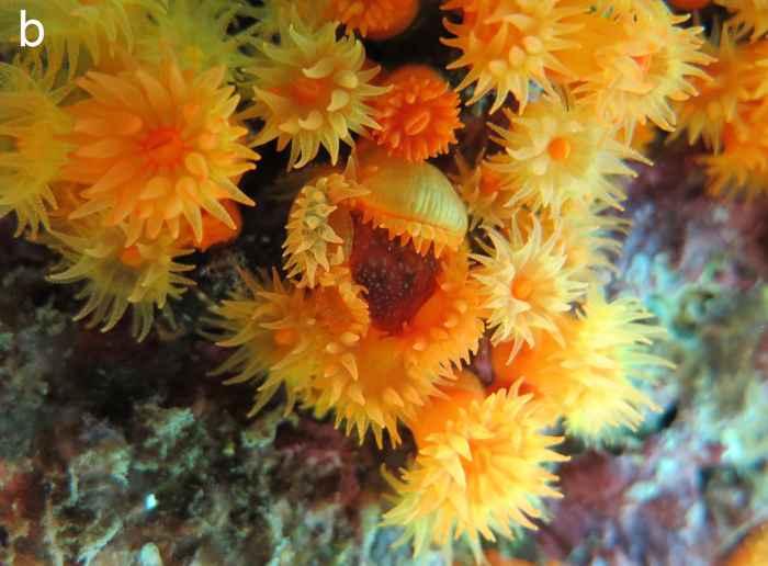 coral atrapa medusa con sus pólipos