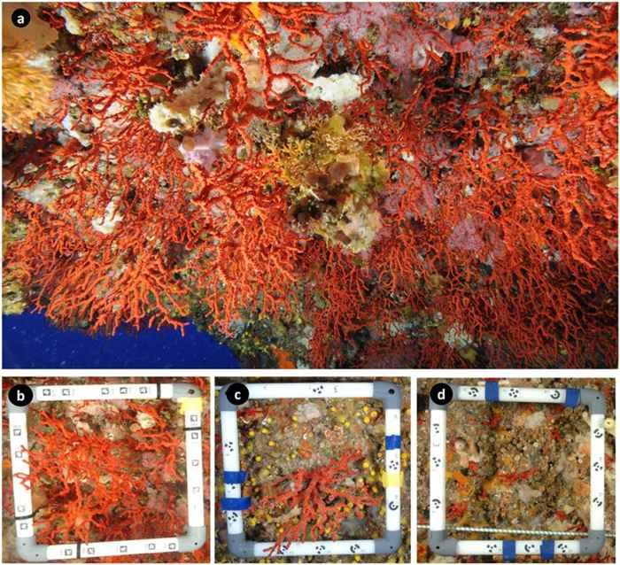 coral rojo del Mediterráneo (Corallium rubrum)