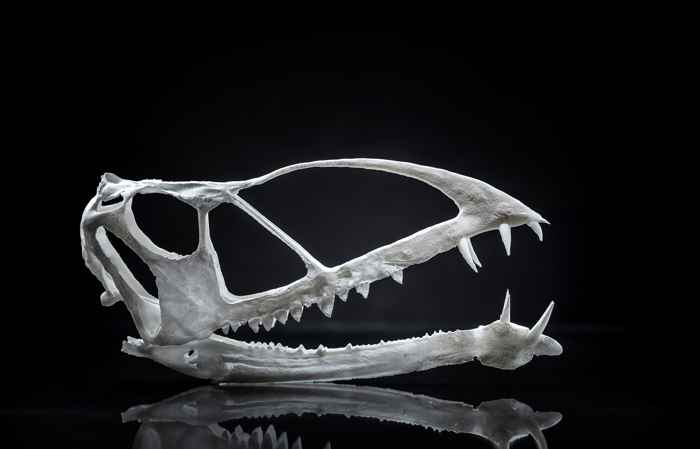 cráneo de Caelestiventus hanseni