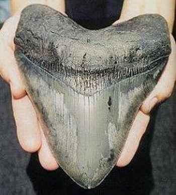 diente más grande de megalodon