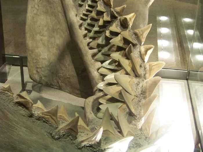 dientes de reemplazo de un tiburón
