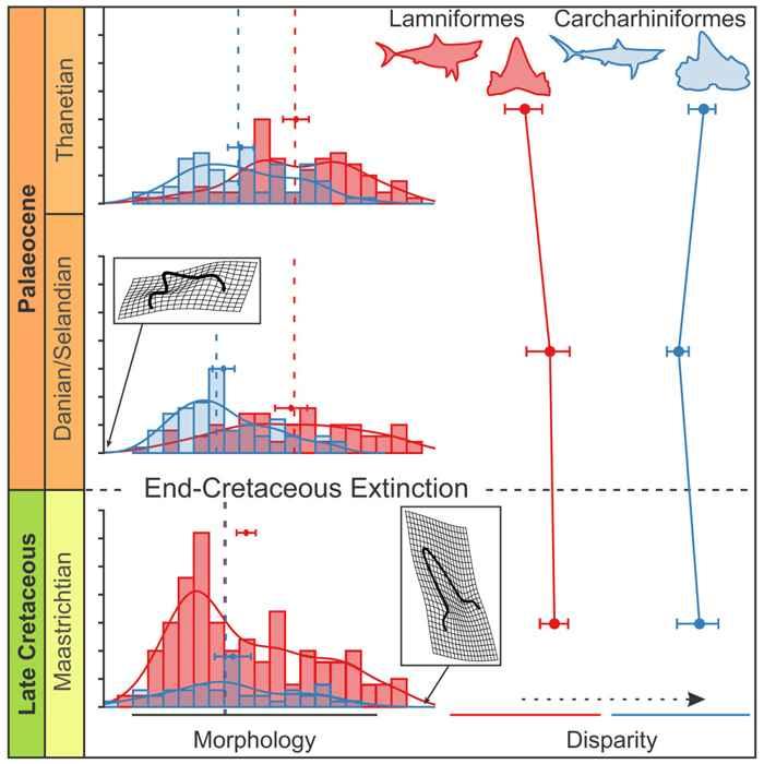 disparidad-morfología de carcharhiniforms y lamniformes