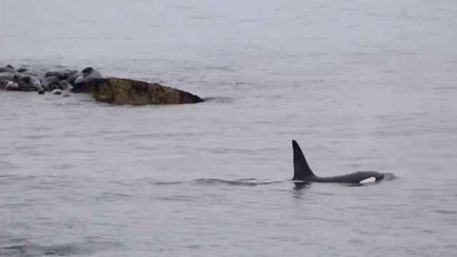 focas se refugian en rocas para escapar de orcas