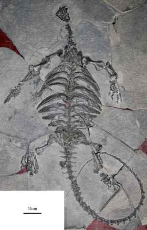fósil de Eorhynchochelys sinensis