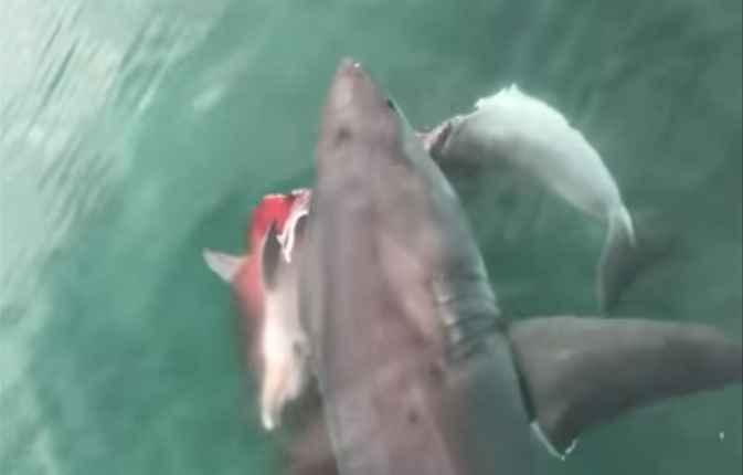 gran tiburón blanco con el cadáver de un delfín