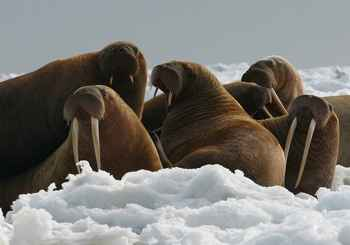 morsas de Groenlandia