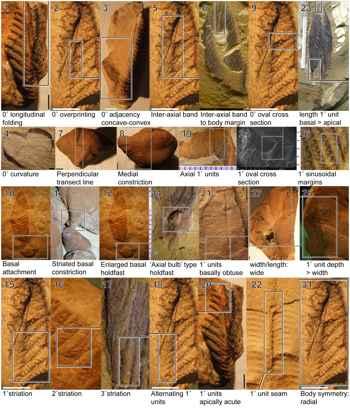 muestras de Stromatoveris
