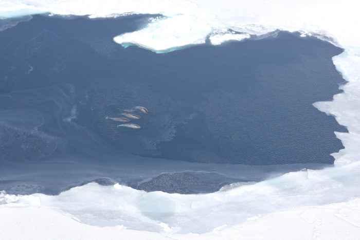 narvales en la bahía de Baffin