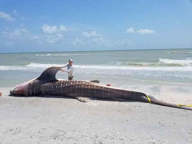 tiburón ballena muerto en Florida