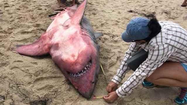 tiburón blanco tintado de rojo en Massachusetts