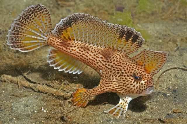 pez mano moteado (Brachionichthys hirsutus)
