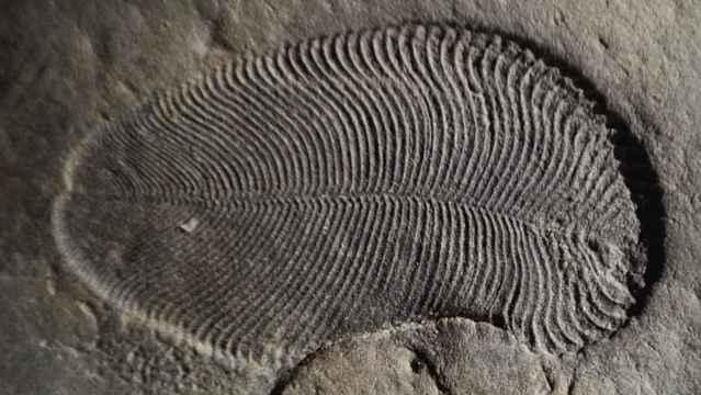 Dickinsonia fósil