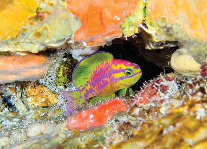 pez neón Tosanoides aphrodite