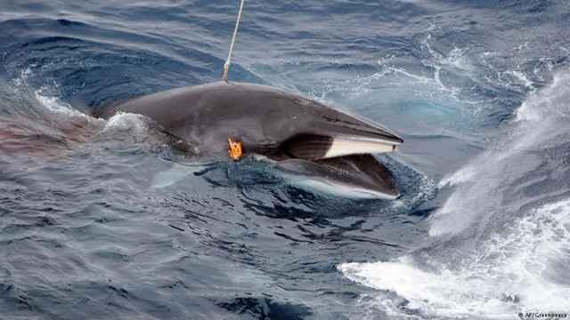 ballena arponeada