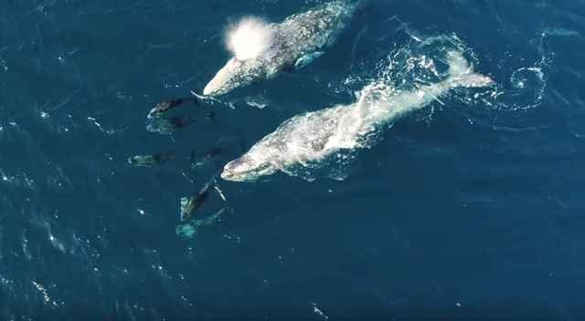ballenas juegan con delfines