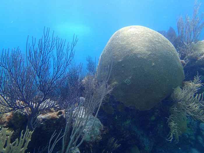 coral cerebro (Diploria labyrinthiformis)