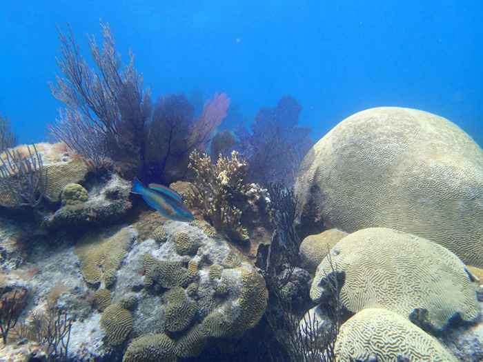 corales cerebro (Diploria labyrinthiformis)