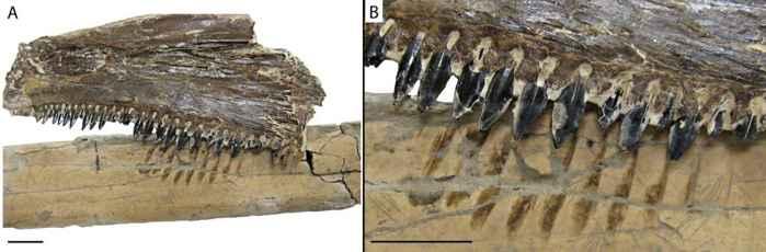 hueso de Pteranodon con marcas de Saurodon