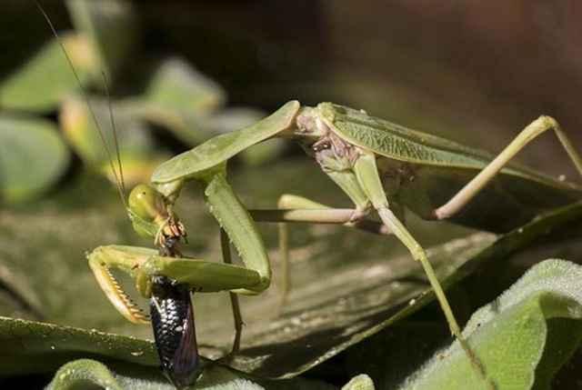 mantis religiosa se come un pez