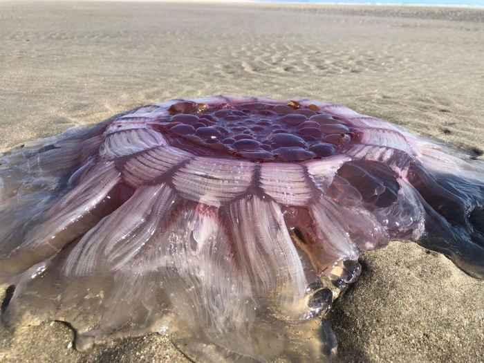 medusa melena de león (Cyanea capillata) en una playa