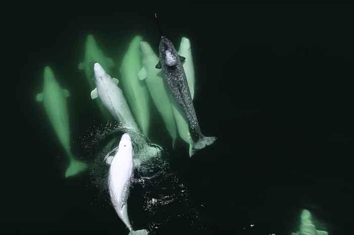 narval adoptado por belugas