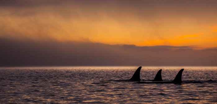 orcas por la noche