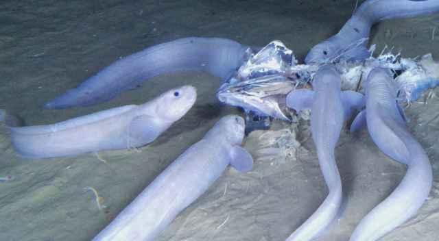 peces caracol de Atacama