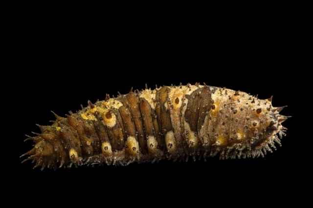 pepino de mar