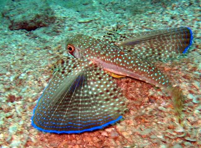 pez golondrina (Dactylopterus volitans)