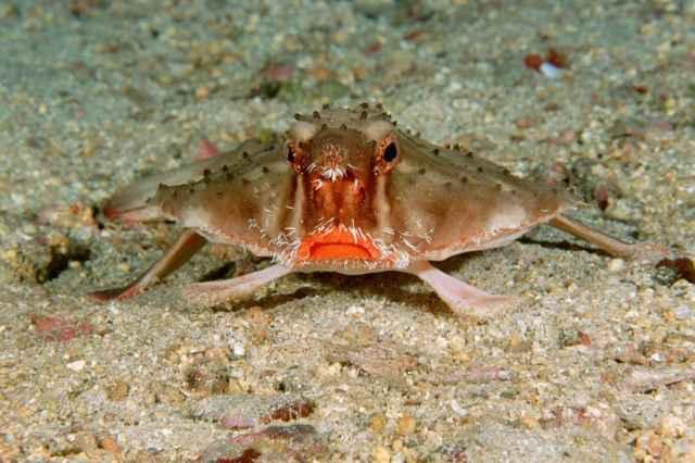 pez murciélago de Galápagos (Ogcocephalus darwini)