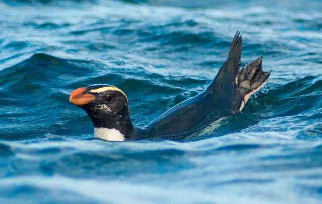 pingüino Tawaki (Eudyptes pachyrhynchus)