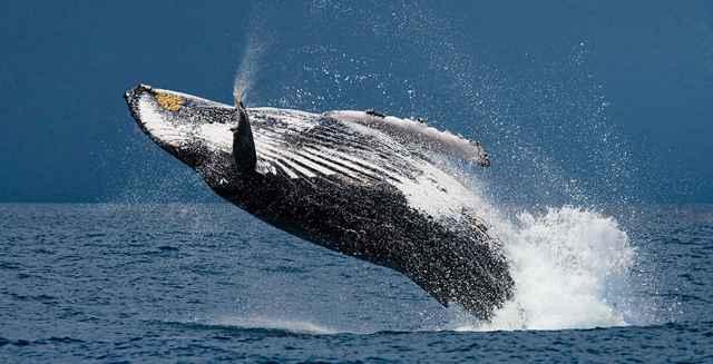 salto de una ballena