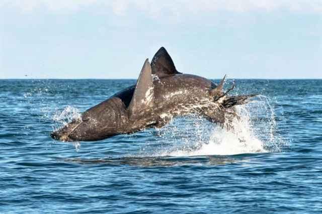 tiburón peregrino saltando