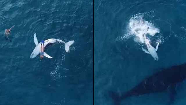 ballena se frota el vientre con un buzo