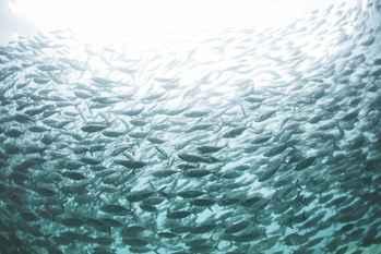 banco peces en AMP de Raja Ampat