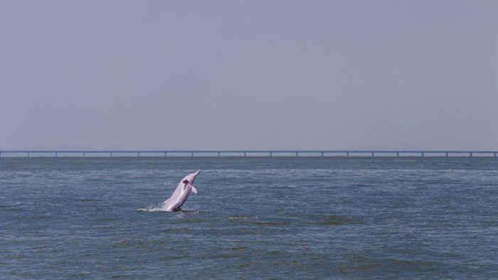 delfín blanco en puente marítimo de China