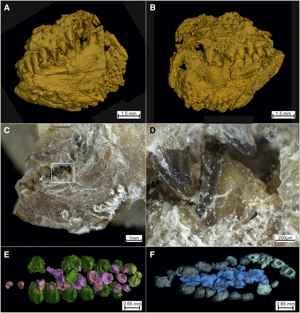 dientes fósiles de Piranhamesodon pinnatomus