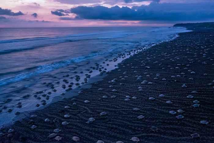 enjambre de tortugas marinas en la playa